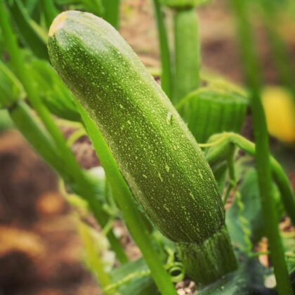 Zucchini growing at MSGLV Farms