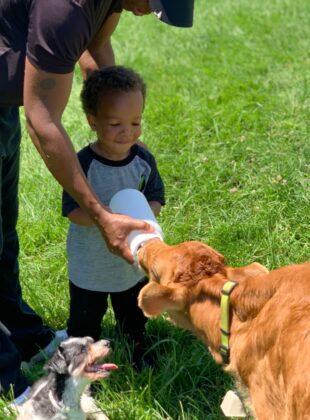 Young boy feeds calf